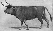 Image of an aurochs