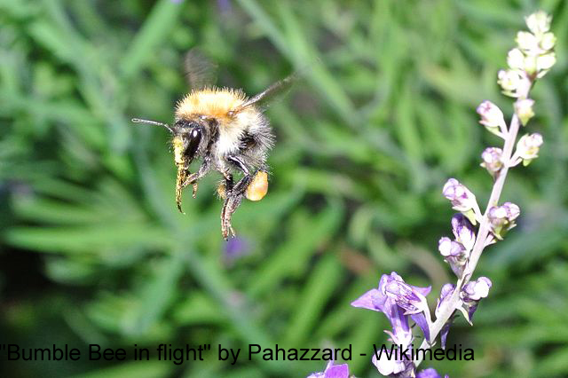 Image of a bumble bee